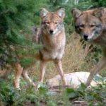 2020 Adult Speaker Series coyotes